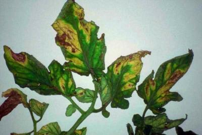 Причины и признаки вертициллезного увядания томатов. Все способы лечения растений