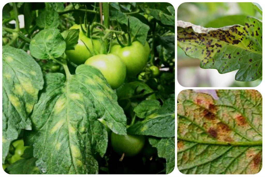 бурая пятнистость на томатах фото часто пользуюсь