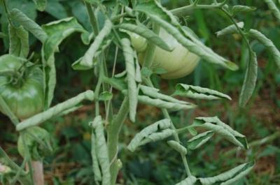 Почему у рассады помидор скручиваются верхние листья