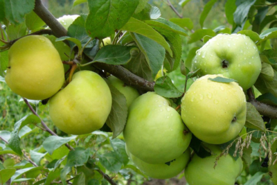 Как сушить яблоки в электрической духовке газовой плиты