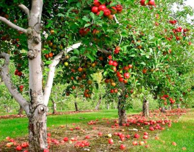 Один из старейших сортов яблок - Апорт. Описание и фото, особенности выращивания