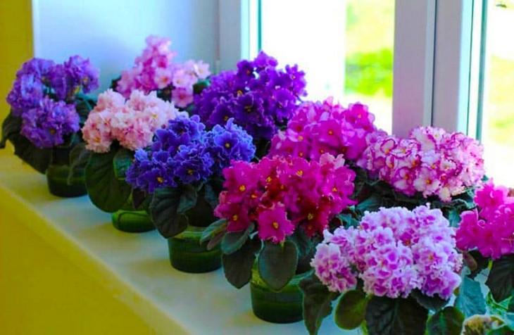 Что нужно делать, чтобы фиалки обильно цвели? Условия пышного цветения в домашних условиях